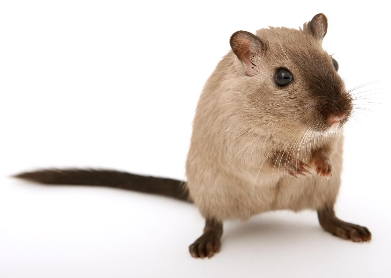 Methoden om je te ontdoen van muizen en houtworm in huis